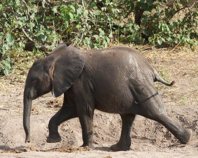 Dumbo - Chobe