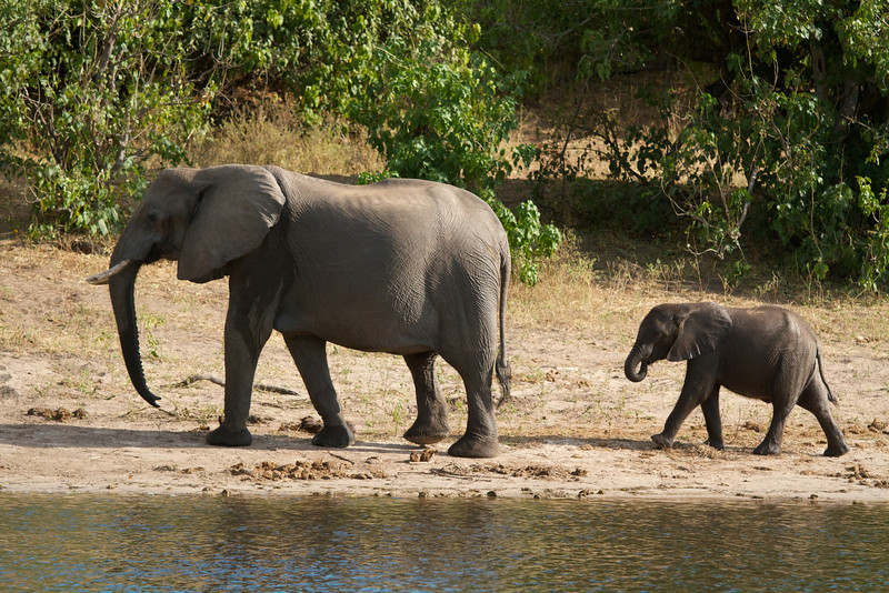 Elephant Duo  - Chobe