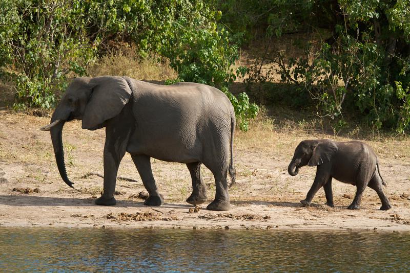 Elephant Duo  - Chobe