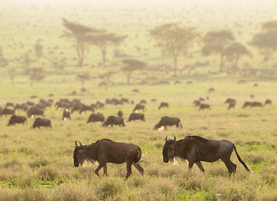 Wildebeest at Sunset - Serengeti National Park, Tanzania