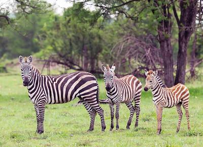 Zebras - Serengeti National Park, Tanzania
