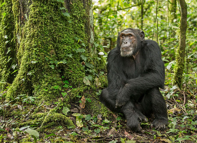 Chimpanzee- Kibale Forest National Park, Uganda