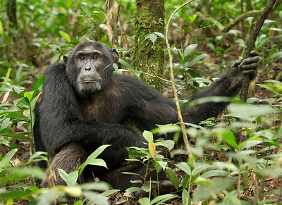 Chimpanzee - Kibale Forest National Park, Uganda