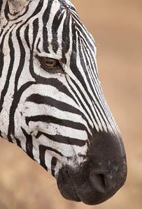 Zebra - Ngorongoro Crater, Tanzania