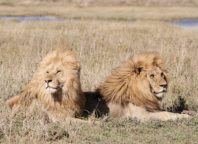 Lions - Serengeti National Park, Tanzania