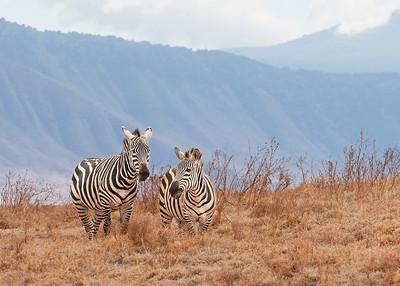 Zebras - Ngorongoro Crater,  Tanzania