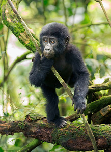 Baby Gorilla - Bwindi Impenetrable Forest National Park, Uganda
