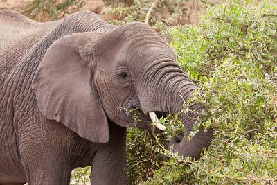 Elephant-Ngorongoro Crater,, Tanzania