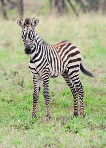 Zebra Baby - Serengeti National Park, Tanzania