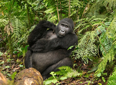 Silverback Gorilla - Bwindi Impenetrable Forest National Park, Uganda