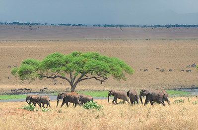Elephant Herd - Tarangire National Park, Tanzania