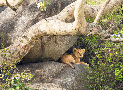 Lion Cub - Serengeti National Park, Tanzania