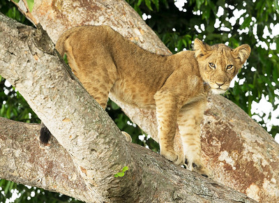Tree Climbing Lion - Ishasha, Queen Elizabeth National Park, Uganda