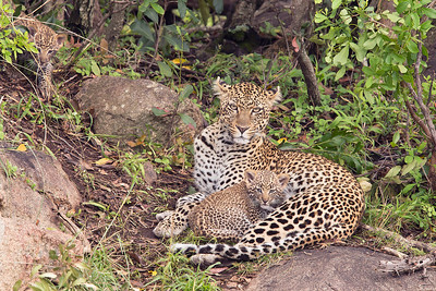 Leopard and Cubs - Serengeti National Park, Tanzania