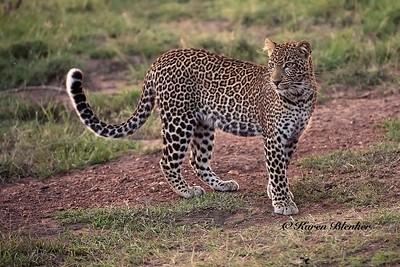 Leopard at Olare Motorogi Conservancy, Kenya
