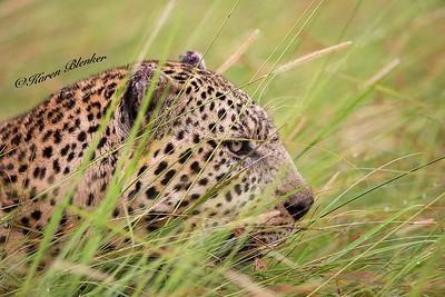 Leopard portrait in grass