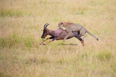 Cheetah hunt #2,  riding the Topi,  Kenya, Africa