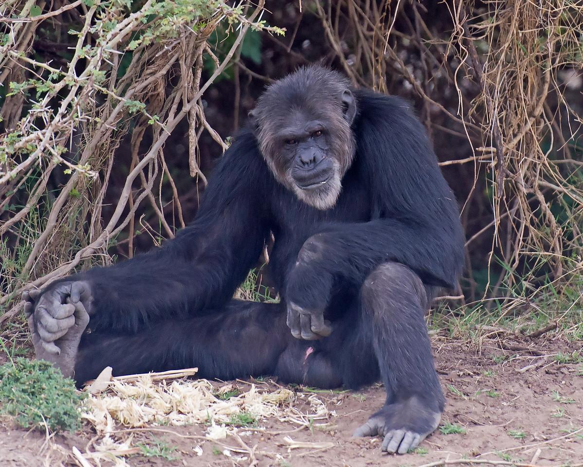 Elder Chimp, Rescued