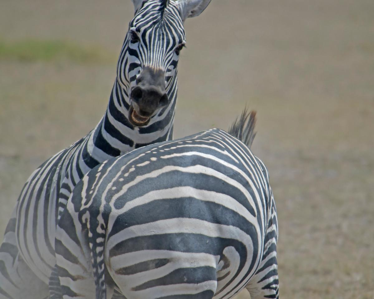 Zebra Tussle