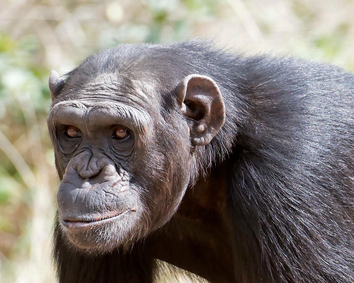 Chimpanzee, Rescued