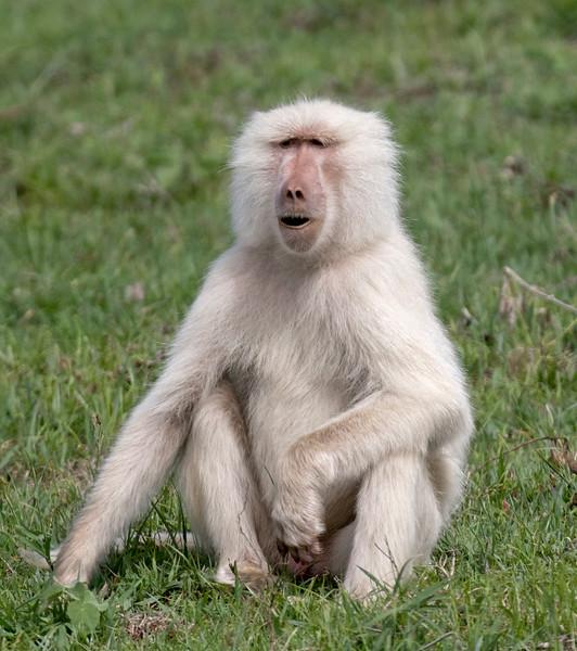 A2746albino'baboon  2