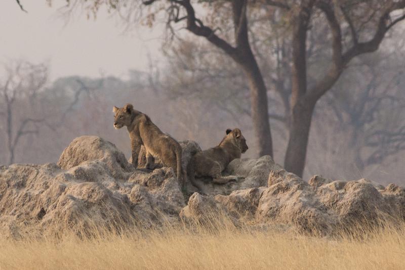 Lion cubs, Hwange National Park, Zimbabwe
