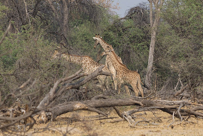 Giraffe, Hwange National Park, Zimbabwe