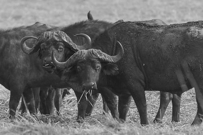 Cape Buffalo, Busanga Plains, Kafue National Park, Zambia