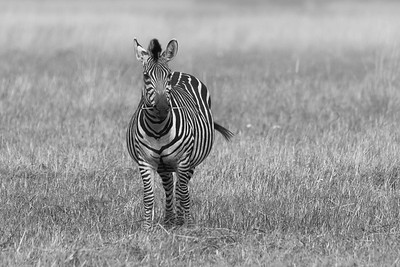 Zebra, Busanga Plains, Kafue National Park, Zambia