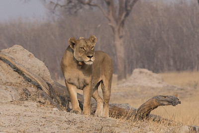 Lion, Hwange National Park, Zimbabwe - she was in Cecil's first pride