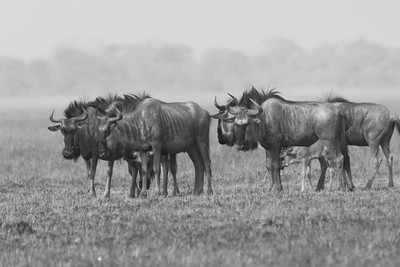 Gnu (Wildebeest), Busanga Plains, Kafue National Park, Zambia