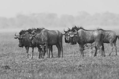 Gnu (Wildebeest), Busanga Plains, Kafue National Park, Zambia