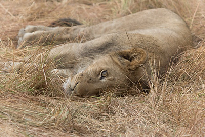 Lion, Busanga Plains, Kafue National Park, Zambia