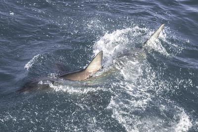 Great White Shark, Joubertsdam, South Africa