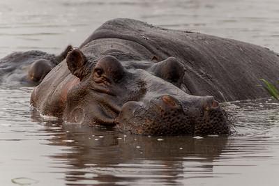 Hippopotamus, Busanga Plains, Kafue National Park, Zambia