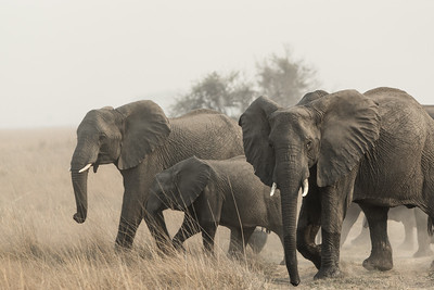 Elephant, Busanga Plains, Kafue National Park, Zambia