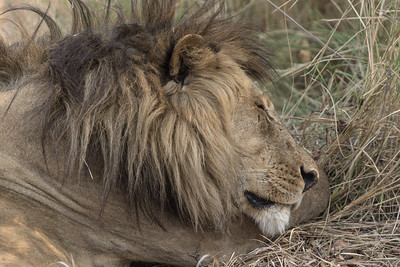 Black Maned Lion, Busanga Plains, Kafue National Park, Zambia