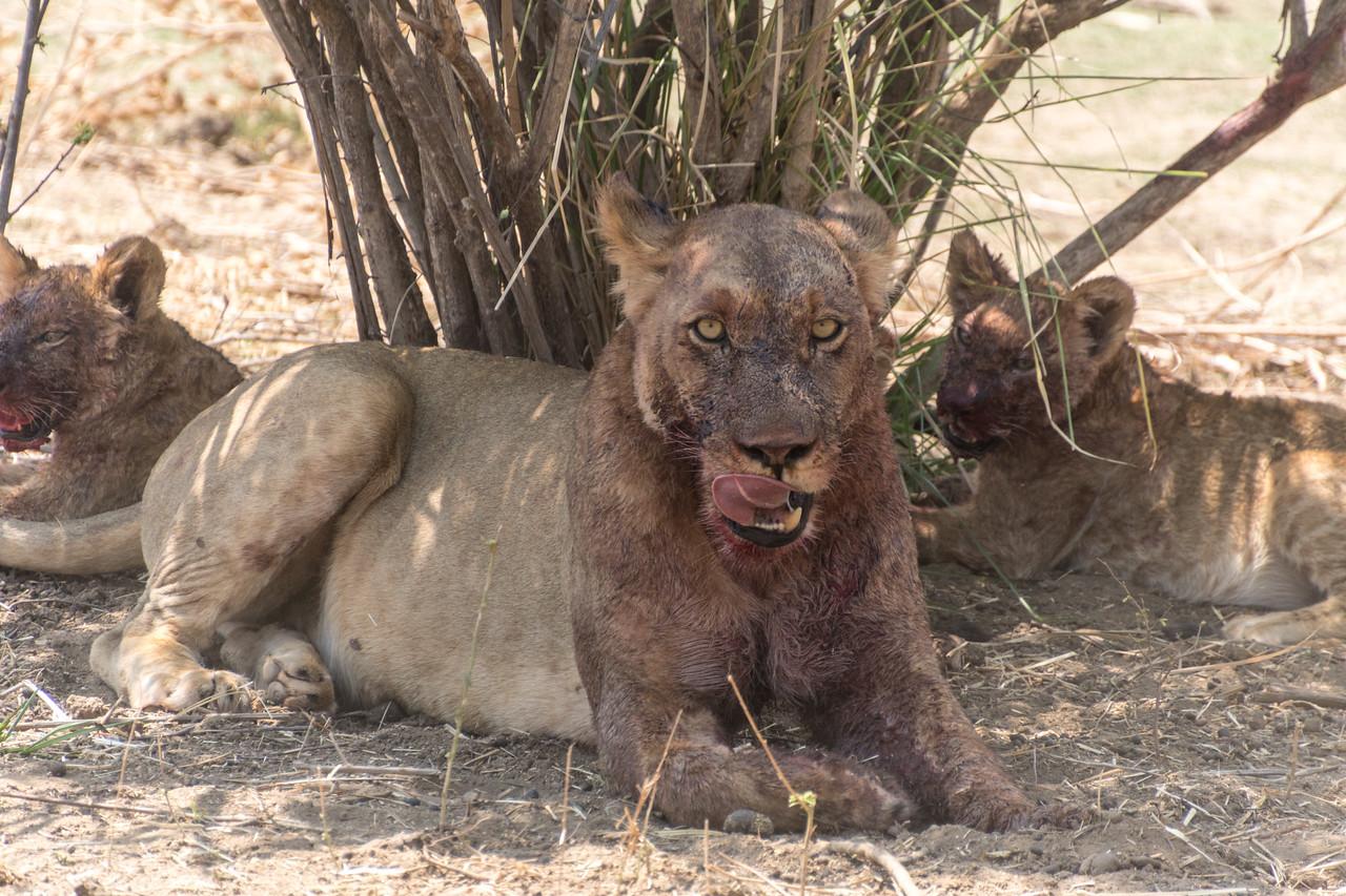 Lion, Mana Pools National Park, Zimbabwe