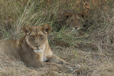 Lion, Busanga Plains, Kafue National Park, Zambia