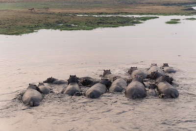 Hippopotamus, from hot air balloon, Busanga Plains, Kafue National Park, Zambia