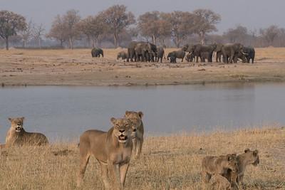 Lion and Elephant, Hwange National Park, Zimbabwe