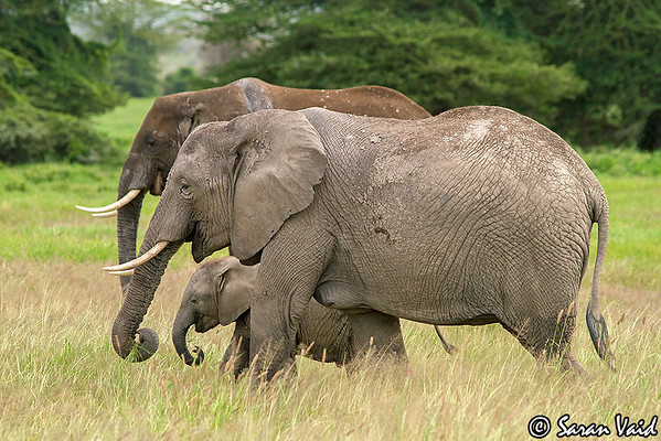 An Elephant Family  Picture taken in Amboseli National Park, Kenya