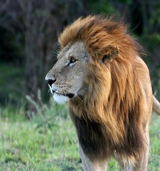 A Handsome Lion Portrait.<br /> <br /> Picture taken in Masai Mara National Park, Kenya