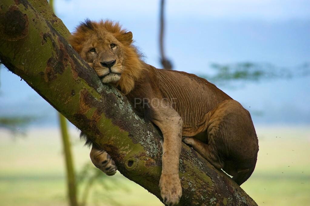 Nakuru lion