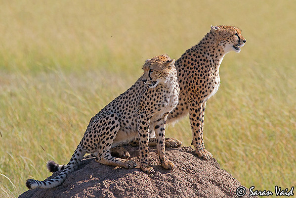 Cheetah mother with a sub-adult cub sitting on a termite mound.  Picture taken in Masai Mara National Park, Kenya