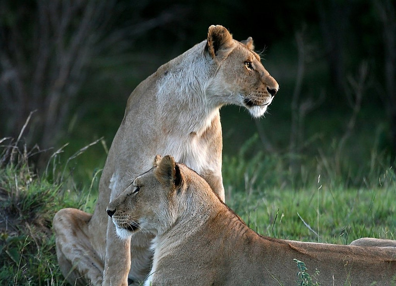 Lioness resting in the evening.<br /> <br /> Picture taken in Masai Mara National Park, Kenya