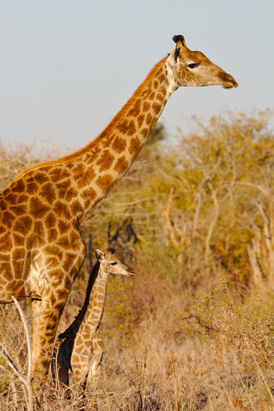 Giraffe mother and young