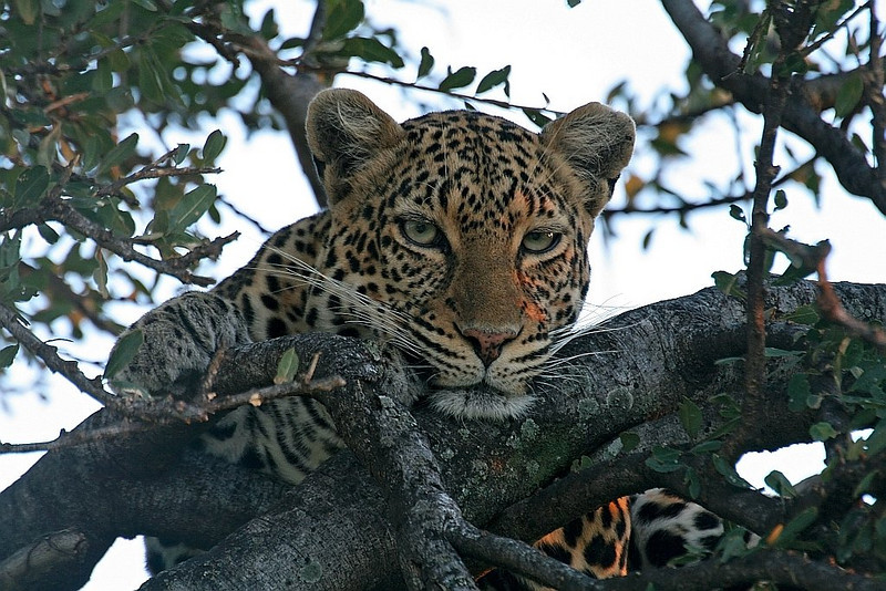 Leopard resting on a fig tree.<br /> <br /> Picture taken in Masai Mara National Park, Kenya