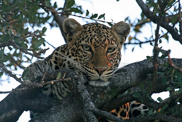 Leopard resting on a fig tree.  Picture taken in Masai Mara National Park, Kenya