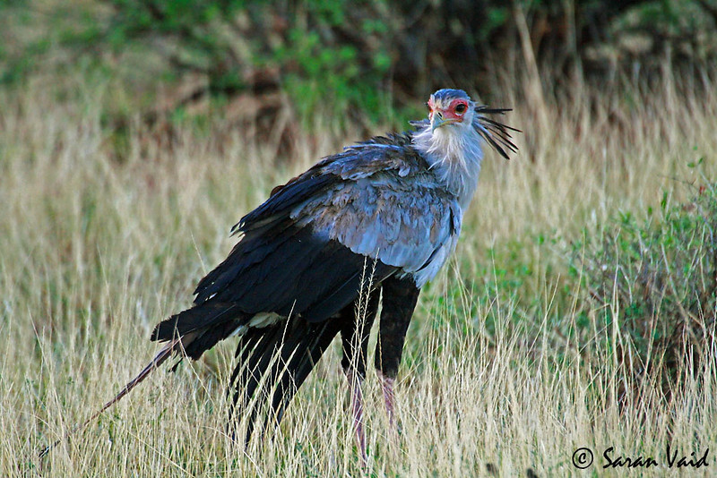 A Secretary Bird (Sagittarius serpentarius) strikes a pose in Samburu game reserve, Kenya, Africa